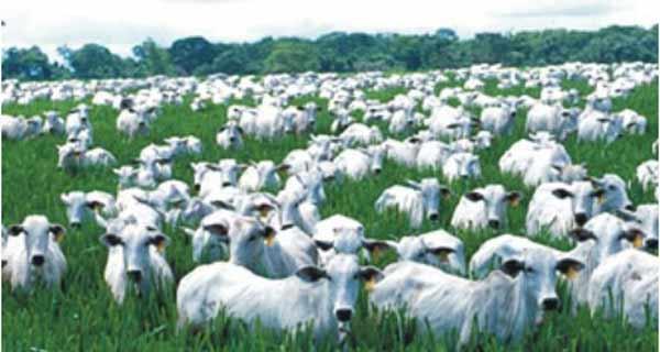 Foto de gado no pasto