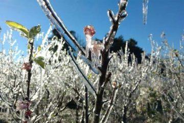 Foto de plantação afetada por geada