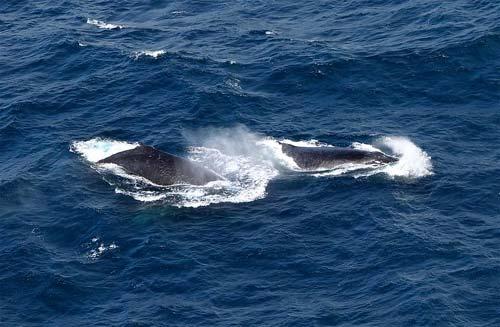 Foto baleias em mergulho em alto mar
