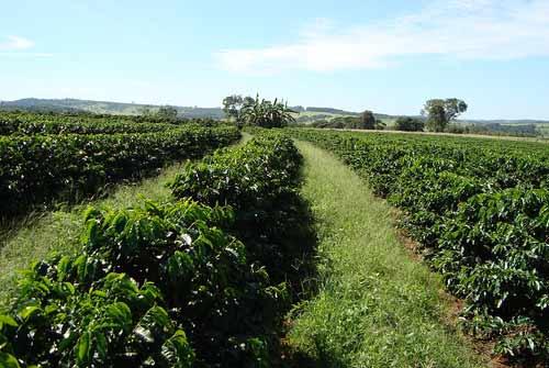 (Foto ilustrativa; plantação de café)